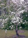 Zied ābele